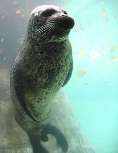 Harbor seal.  How to tell the difference between seals and sea lions?  Sea lions have external ear flaps!  Now you know.  :-)