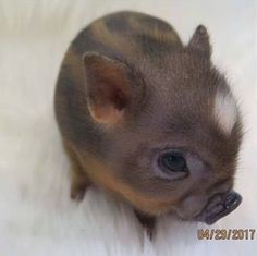 Miniature Pet Pigs – Why Are They Such Popular Pets? – Pets and Animals Cute Baby Pigs, Baby Animals Super Cute, Cute Piglets, Cute Little Animals, Cute Funny Animals, Baby Piglets, Baby Teacup Pigs, Teacup Pigs Full Grown, Funny Cats
