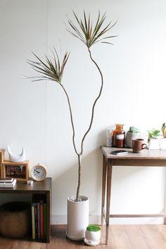 コンシンネ・マゼンタ落ち着いた、ぬくもりのある雰囲気の北欧系家具・インテリア。  赤茶色の葉を持つこのコンシンネなら  こだわりのインテリア、リビングにスゥッと溶け込みますよ。  ありそうでない、自然樹形のコンシンネです。