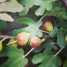 There is #Hope  I thought that it won't be ripe figs this year!#magichappens  Van remény! Azt hittem idén nem érik be a fügém. Vannak még csodák!