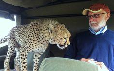 Horsey, David - Cheetah Jumps in Jeep- Safari- Maasai Mara, Kenya