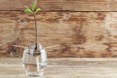 Det kræver tålmodighed, lyse og vanding at dyrke avokado.