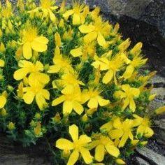 Hypericum olympicum - Millepertuis grec Plantes Alpines, Rama Seca, Rock Garden Plants, Irish Moss, Alpine Plants, Plantar, Plantation, Planting Flowers, Bloom