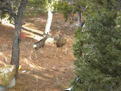 One of the fawns meeting a wild doe in the area
