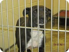 Pikeville, KY - Pit Bull Terrier/Feist Mix. Meet Maria, a dog for adoption. http://www.adoptapet.com/pet/10960320-pikeville-kentucky-pit-bull-terrier-mix