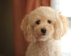 Poodle/Bichon Mix  haircut style---- aww makes me want another one :(