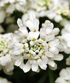 Iberis sempervirens, Whiteout - Perennial Plants at Burpee.com