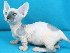 The Bambino is a cross between the Sphynx and the Munchkin. The idea was to create a short hairless cat with a lively and affectionate disposition. The breed was Bambino Kitten, Munchkin Kitten, I Love Cats, Crazy Cats, Cool Cats, Animals Beautiful, Cute Animals, Unusual Animals, Beautiful Creatures