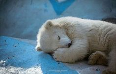 nothing cuter than a sleepy baby bear. Save The Polar Bears, Baby Polar Bears, Bear Pictures, Cute Animal Pictures, Bear Cubs, Panda Bear, Sleeping Animals, Love Bear, Tier Fotos