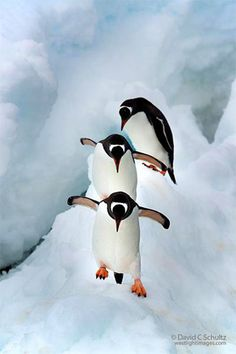 Gentoo Penguins. Gentoos breed on many sub-Antarctic islands. The main colonies are on the Falkland Islands, South Georgia, and Kerguelen Islands; smaller populations are found on Macquarie Island, Heard Islands, South Shetland Islands, and the Antarctic Peninsula. The total breeding population is estimated to be over 300,000 pairs.