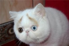 White blue-eyed cat (10 photo) - more at comicanimals.com