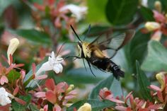 """The Snowberry Clearwing is a species that belongs to a group collectively known as """"Hummingbird Moths."""""""