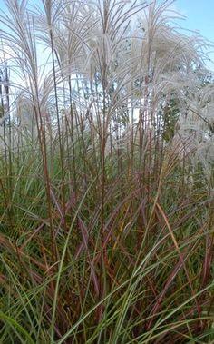 ornamental grasses on pinterest grasses golden bamboo and sun. Black Bedroom Furniture Sets. Home Design Ideas