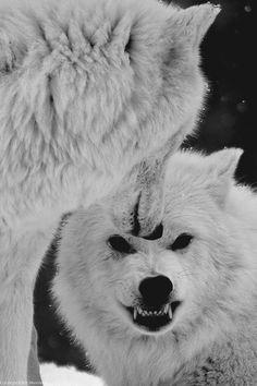 Lobos Brancos  ( White Wolves )