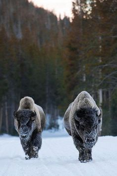 Bison, Yellowstone National Park by: R. Payne We saw a big herd at the North Rim Grand Canyon National Park! Nature Animals, Animals And Pets, Cute Animals, Animals Planet, Funny Animals, Zebras, Wildlife Photography, Animal Photography, Beautiful Creatures