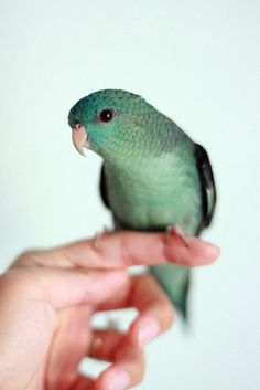 Kiwi the lineolated parakeet. I'm on a wait list for one of these lovely birds I hope I can get one.