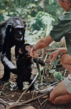 Under the watchful eye of mother Flo, baby Flint makes contact with British scientist Jane Goodall. Gombe Stream National Park, 1965.