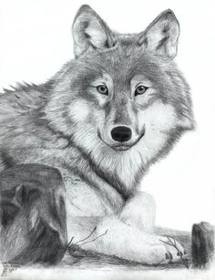 wolf drawing by Heather June