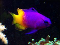 royal gamma...royal gramma, one of my favorite reef aquarium fish!