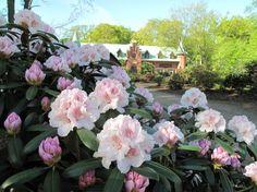 Rhododendron på Sofiero.