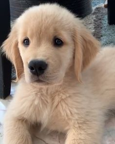 This pretty puppy golden retriever will brighten your day. Dogs are incredible creatures. Aussie Puppies, Black Lab Puppies, Baby Puppies, Cute Puppies, Cute Dogs, Dogs And Puppies, Corgi Puppies, Husky Puppy, Doggies