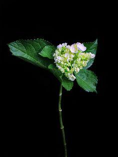 Hortensia verde (10 tallos) $150  Estos Precios están sujetos a cambios y disponibilidad del Producto.