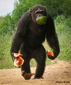 from the jane goodall institute: Chimp Photo of the Week! Petit Prince with all the watermelon he can carry at Tchimpounga Chimpanzee Rehabilitation Cent
