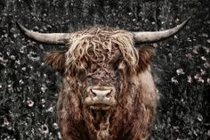 Nachic Wall - Animal Canvas Wall Art Highland Cow Picture Print on Canvas Cattle Painting for Modern Living Room Bedroom Farmhouse Home Decor Gallery Wrap Ready to Hang Canvas Wall Art, Wall Art Prints, Canvas Prints, Highland Cow Pictures, Highland Cow Canvas, Fluffy Cows, Highland Cattle, Cow Art, Tier Fotos