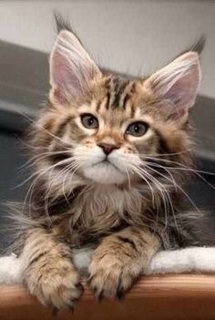 """Maine coon <a href=""""http://www.mainecoonguide.com/where-to-find-maine-coon-kittens-for-sale/"""" rel=""""nofollow"""" target=""""_blank"""">www.mainecoonguid...</a>"""