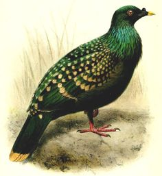 Dodos and spotted green pigeons are descendants of an island hopping bird -- ScienceDaily