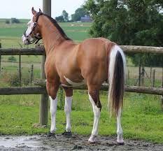 beautiful paint dun horse beautiful. beautiful.