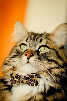 * * PEEBLES INSISTS THAT A LEOPARD BOW-TIE ADDS TO HIS EVIL CAT CREDENTIALS.