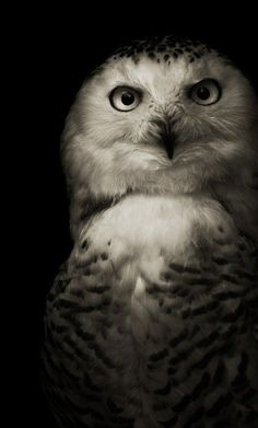Snowy Owl....they really are the most beautiful animals in the world <3