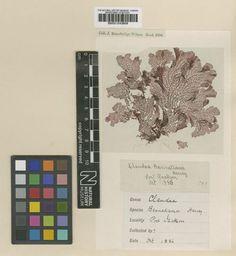 Occurrence Detail 1057567107  오세아니아.호주/ 시드니 항구로 인해 인구가 몰리면서 서식지가 파괴되어 멸종_http://www.iucnredlist.org/details/43993/0