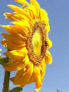 .Swept back look on this Sunflower, just as our hair looks windblown at times too...
