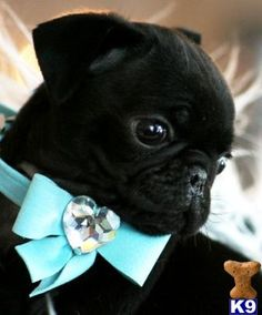 I adore this lovely photo of this little black Pug. Sweetness.