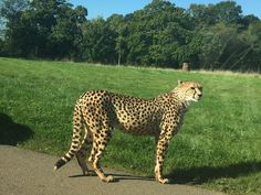 @sadepegs - September 2015  Cheetahs really do love the warmer weather here at longleat.  #longleat #cheetah #wow