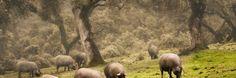 """Esta vez Jesús Lemus nos habla de los cerdos ibéricos en """"El ganado español en américa"""" #historia #ganadería #campo #cerdoibérico"""