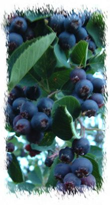 Saskatoon berries- The Métis also gathered wild berries and edible plants. Berries were important food for the Métis. They were eaten alone, or added to a popular meal called 'Pemmican'. Berries were stored in animal skins to prevent them from going bad.