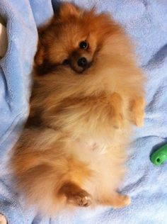 Pomeranian...another dog I love; they're busy little fuzzballs that love to snuggle and play and follow you everywhere! :)