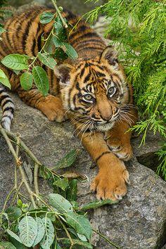 Sumatran Tiger Cub (by patrick-walker) - Groß- und Wildkatzen - Animals Big Cats, Cats And Kittens, Cute Cats, Animals And Pets, Baby Animals, Cute Animals, Wild Animals, Beautiful Cats, Animals Beautiful