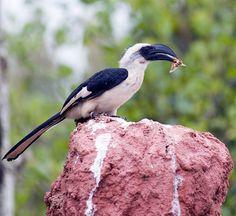 Female Von Der Deckan's Hornbill (Tockus deckeni)