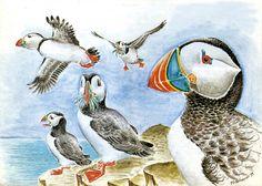 Maskonur - Fratercula arctica - Atlantic Puffin