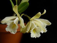 Encyclia mariae hybr.