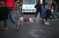 "A 6-month-old pet pig named ""Shy"" follows his owner as he crosses a street in Mexico City."