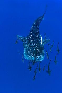 the-shark-blog:  Whaleshark swimming by Soren Egeberg