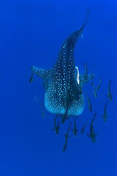 Whaleshark with friends
