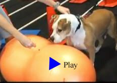 Click here to watch this video and learn what Canine Rehabilitation & Conditioning Group does! www.dog-swim.com