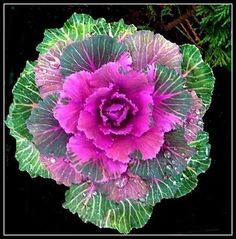 How to Plant Potted Flowers Outdoors in the Soil : Garden Space – Top Soop Cabbage Plant, Cabbage Roses, Purple Cabbage, Vegetable Painting, Plant Painting, Ornamental Cabbage, Ornamental Plants, Vegetable Animals, Veggie Art