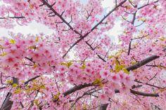 Sakura saku by Ryusuke Komori on 500px